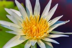 与黄色花粉的一个美丽的浪端的白色泡沫百合 免版税库存照片