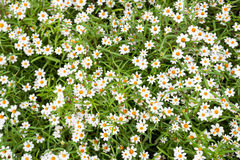 与黄色花粉的少许白花 图库摄影