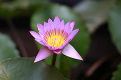 与黄色花粉的紫色开花莲花和聚焦莲花叶子 免版税库存照片