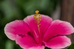 与黄色花粉的红色木槿花 库存照片