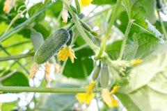 与黄色花,小果实,茂盛植物,卷曲卷须的黄瓜词根 库存图片