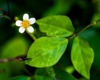 与黄色芽的白色微小的花 免版税库存图片