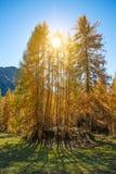 与黄色落叶松属的不可思议的秋天风景在阳光下 Medita 库存图片