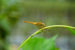 与黄色蜻蜓的弯曲的secium edule触手 免版税库存图片
