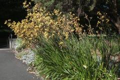 与黄色袋鼠爪子植物的庭院床花的 免版税库存图片