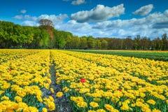 与黄色郁金香领域的意想不到的春天风景在荷兰,欧洲 免版税库存图片