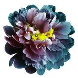 与黄色雄芯花蕊的绿松石蓝色红色牡丹花在与裁减路线的被隔绝的白色背景 特写镜头没有阴影 为 免版税库存照片