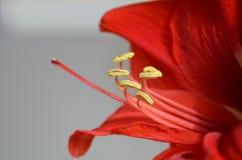 与黄色雄芯花蕊的花红色孤挺花 库存图片