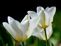 与黄色静脉和绿色叶子的三白色郁金香 库存图片