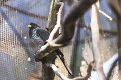 与黄色额嘴立场的黑鸟在笼子的路轨在大吉岭的,印度Padmaja Naidu喜马拉雅动物学公园 库存照片