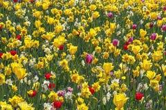 与黄色黄水仙的一张主要黄色花床和郁金香、白色黄水仙和红色郁金香 免版税图库摄影