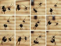 与黄蜂战斗的蜘蛛 免版税库存图片