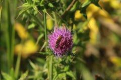 与黄蜂的蓟 免版税库存图片