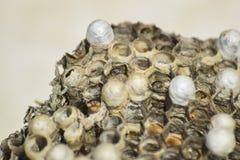 与黄蜂的黄蜂巢坐它 库存图片
