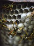 与黄蜂的黄蜂巢坐它 图库摄影