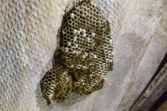 与黄蜂的黄蜂巢坐它 免版税图库摄影