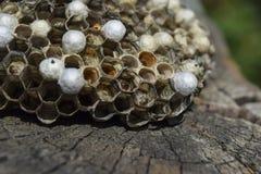 与黄蜂的黄蜂巢坐它 免版税库存图片