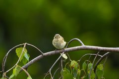 与黄褐色羽毛的蓬松欧洲greenfinch在她的hea 免版税库存照片