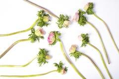 与黑中心的桃红色法国银莲花属 库存照片