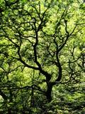 与黑分支的扭转的树反对密集的绿色充满活力的夏天森林背景 库存图片
