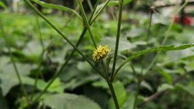与黑刺的黄色毛虫走在植物的词根的 影视素材