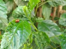与黑圆点的红色瓢虫,坐一棵绿色木槿生叶 免版税库存图片