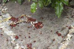 与黑小点的红色战士臭虫在石背景 免版税库存照片