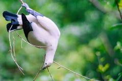 与黑尾巴的一只白色鸟在树枝垂悬颠倒 免版税库存图片