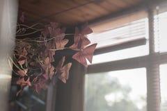 与黑暗深紫红色的室内植物Oxalis在窗口离开 免版税库存照片