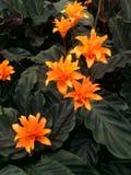 与黑暗的叶子的热带橙色Calathea Crocata塔斯马尼亚花 免版税库存照片