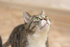 与黑暗的小条的灰色猫,查寻特写镜头 库存图片