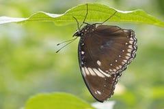 与黑暗的翼的热带蝴蝶 库存图片