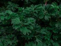 与黑暗的被定调子的绿色叶子样式的创造性的自然布局 背景为时尚,秀丽,生活方式海报组成 免版税图库摄影