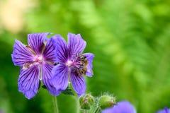 与黑暗的静脉和蜂蜜蜂的宁静的紫色花 库存照片
