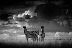 与黑暗的风暴天空的斑马 Burchell ` s斑马,马属拟斑马burchellii,恩克塞盐沼国家公园,博茨瓦纳,非洲 在Th的野生动物 免版税图库摄影