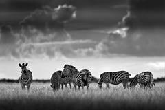 与黑暗的风暴天空的斑马 Burchell ` s斑马,马属拟斑马burchellii,恩克塞盐沼国家公园,博茨瓦纳,非洲 在Th的野生动物 免版税库存照片