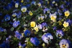 与黑暗的bokeh的黄色蝴蝶花花弄脏了背景 库存图片