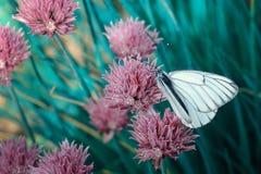 与黑条纹的白色翼的蝴蝶 在一朵桃红色花的一只美丽的昆虫 库存照片