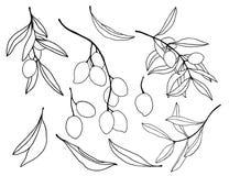 与黑橄榄分支和叶子的水彩剪影 手画花卉集合 在白色隔绝的例证 向量例证