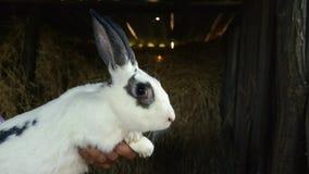 与黑点的一只大白色兔子 某人拿着一只成人兔子 影视素材