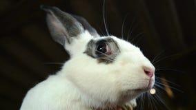 与黑点的一只大白色兔子 某人拿着一只成人兔子 股票录像