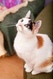 与黑眼睛的幼小欧洲猫 免版税库存照片