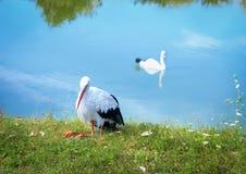 与黑翼的白色鹳在银行和水鸟天鹅 免版税库存图片