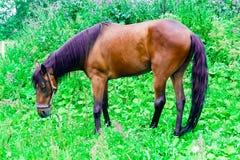 与黑色和紫色鬃毛的美丽的栗子马在一个绿色牧场地吃草 免版税图库摄影