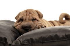 与黑色枕头的Sharpei小狗 库存照片