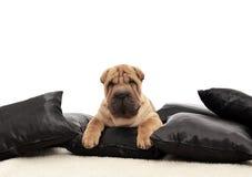 与黑色枕头的Sharpei小狗 图库摄影