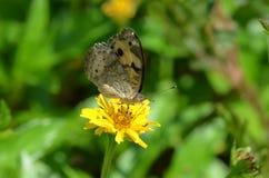 与黑色的小蝴蝶在泰国察觉了啜饮从一朵黄色象雏菊样的野花的黄色翼花蜜 免版税库存照片
