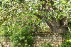 与黑长尾小猴家庭的巨大的猴面包树树 免版税库存图片