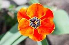 与黑雄芯花蕊的里面红色郁金香 库存照片