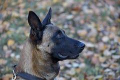 与黑面具关闭的逗人喜爱的比利时护羊狗 宠物 库存照片